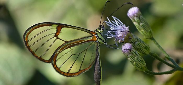 mariposa-transparente