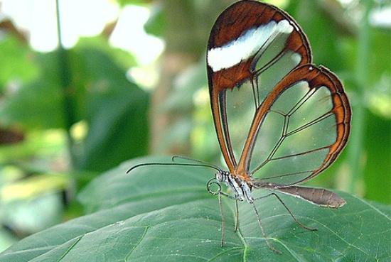 mariposa ttransparente 2